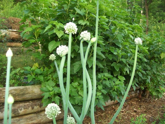 Flowers of NY Early Onion from which we saved seed in 2013